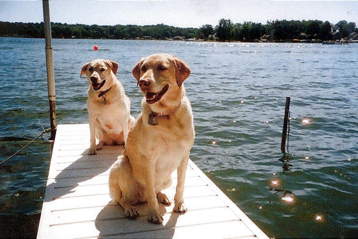 Amy Haycox of Fort Wayne, Ind., sent in this photo of her two big yellow Labrador retrievers sitting on a dock.
