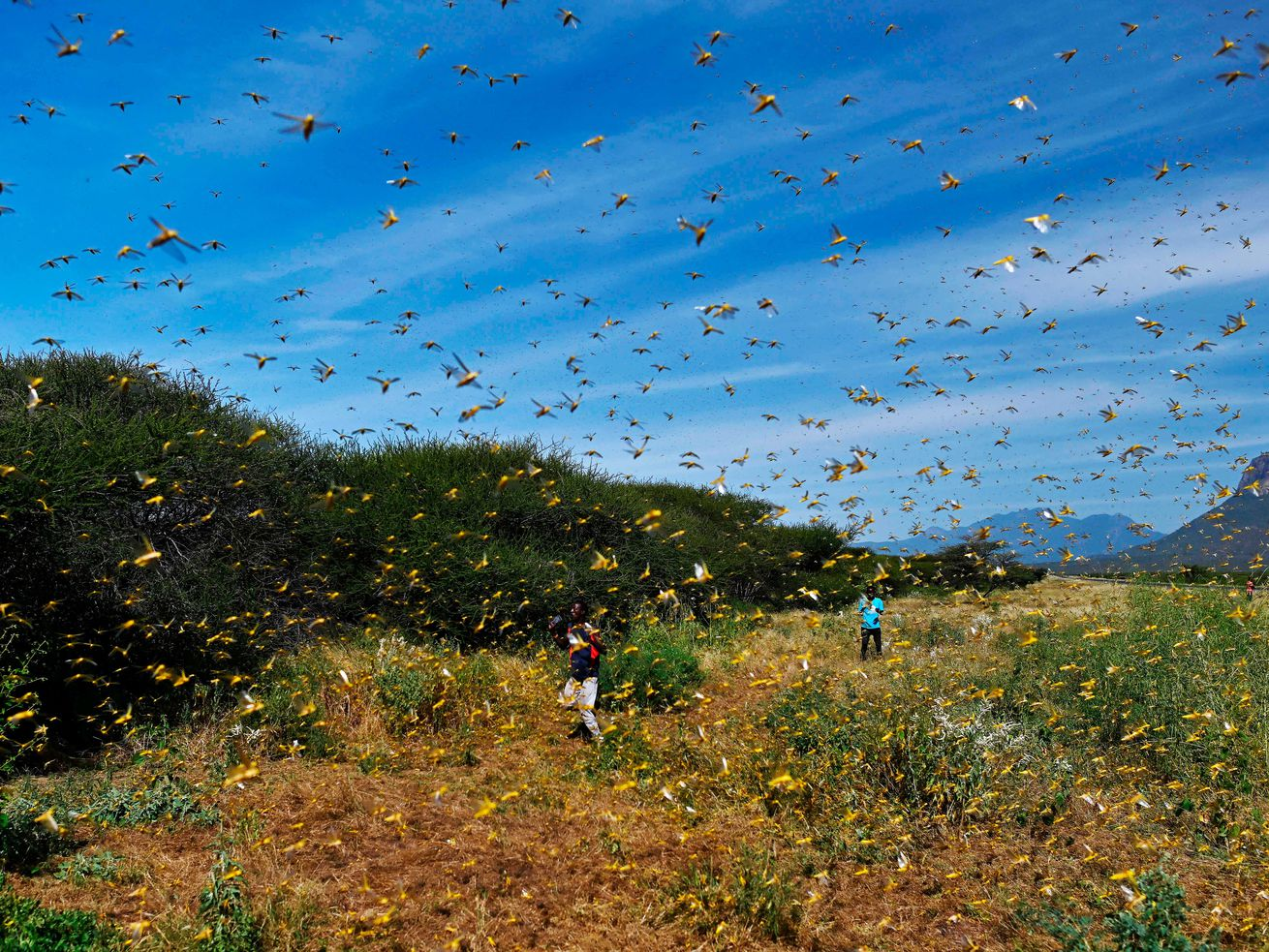 Locusts swarm from ground vegetation in Kenya