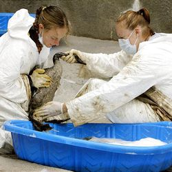 Tracy Aviary, county and Hogle Zoo volunteers like Kate Call, left, and Ellen Vossekuiol clean oil-soaked geese at Hogle Zoo after oil from a pipeline leak flowed into the pond at Liberty Park on Saturday.
