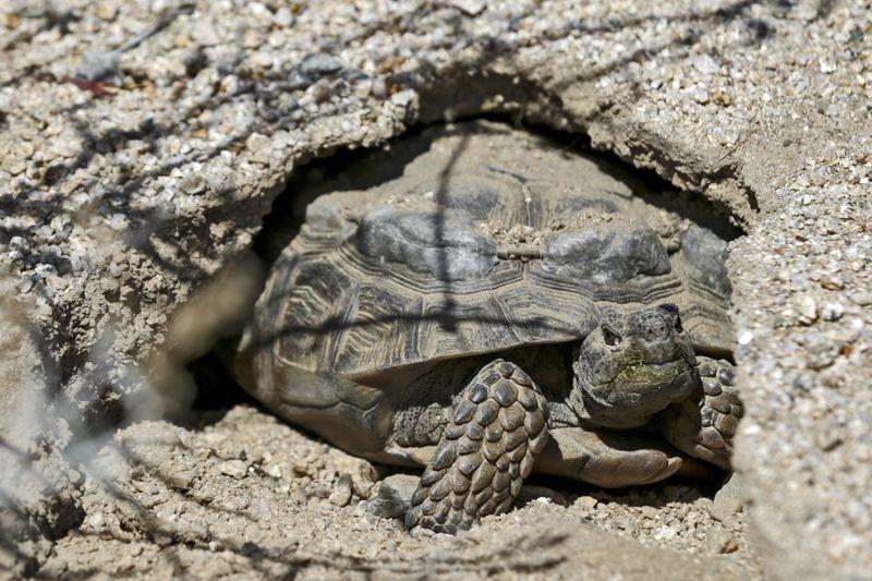A Desert Tortoise With Radio Transmitters