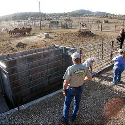 Horse trainers from multiple states pick up preselected wild horses Friday at the Extreme Mustang Makeover Competition in Herriman. In the competition, 34 horse trainers from multiple states pick up a preselected wild horse to be trained over the course of the next 90 days.