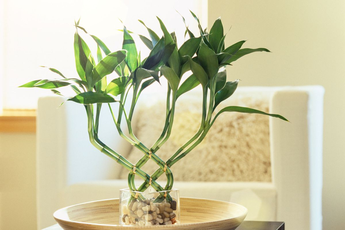 Lucky bamboo sitting in a dish in a living room.