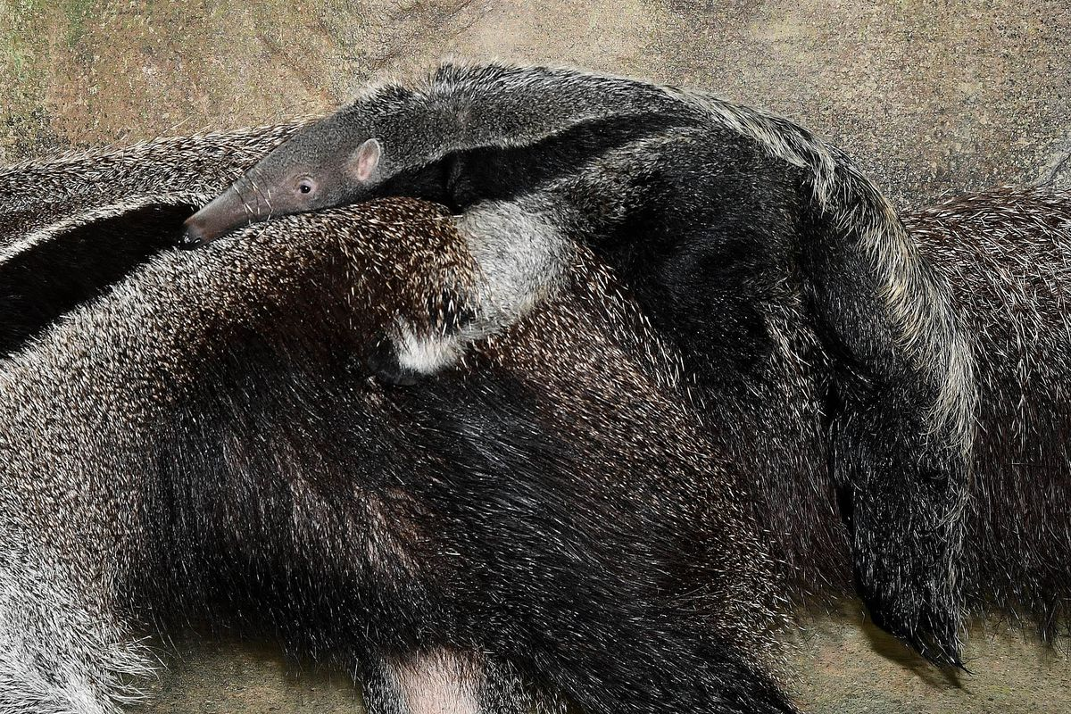 Tulum the giant anteater and her new pup.   Brookfield Zoo photo