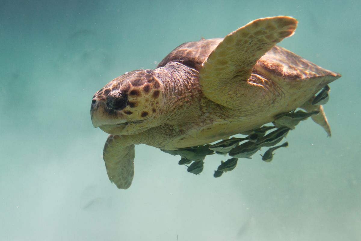 global warming could make male sea turtles disappear the verge