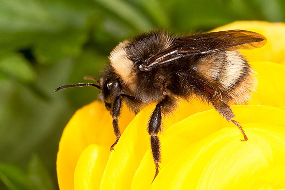 Bumblebee (USDA)