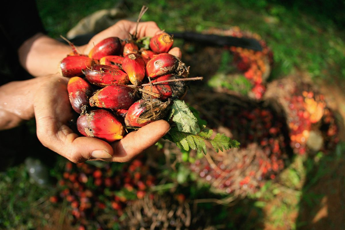 A farmer displays oil palm fruits which will be sent to Crude Palm Oil (CPO) on June 24, 2011 in Bintan, Indonesia.