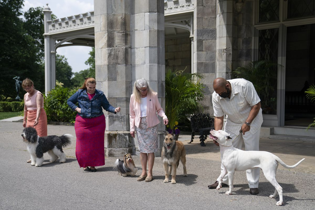 A barbet, biewer Terrier (from left), Belgian laekenois and dogo Argentino are presented for journalists during a news conference, Tuesday, June 8, 2021, in Tarrytown, New York., at the Lyndhurst Estate where the 145th Annual Westminster Kennel Club Dog Show will be held outdoors.