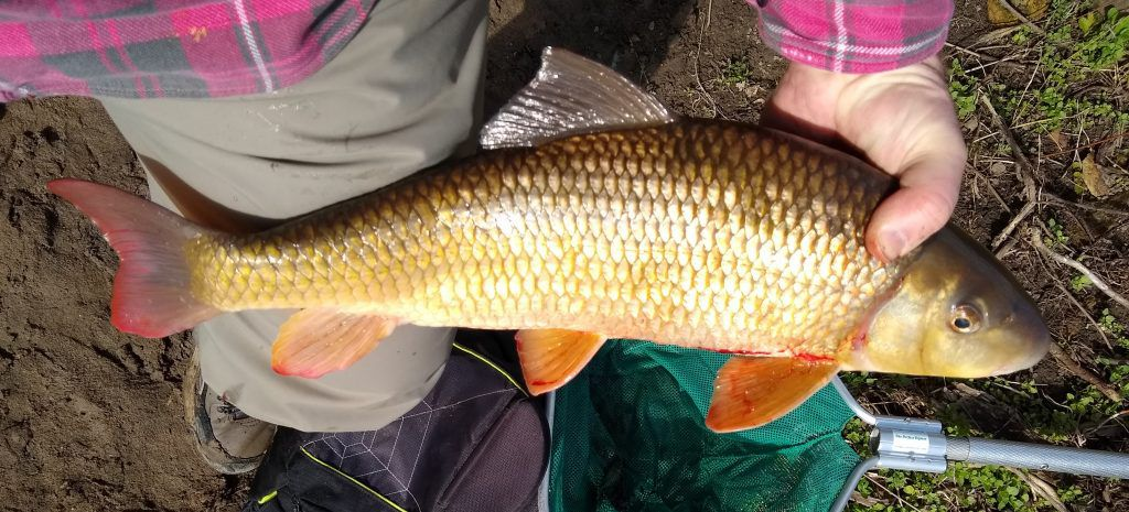Another look at Olaf Nelson's Illinois-record shorthead redhorse. Provided