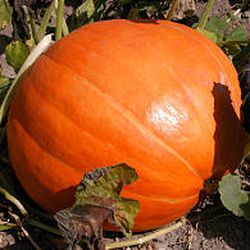 """Store pumpkins in a cool, dry area after """"hardening"""" the rind in a warm place for two weeks."""