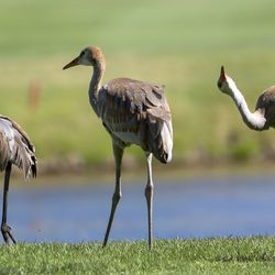 Sandhill Cranes move out of the way of play during the Utah Women's State Amateur at the Soldier Hollow Golf Course in Midway on Wednesday, July 15, 2020.
