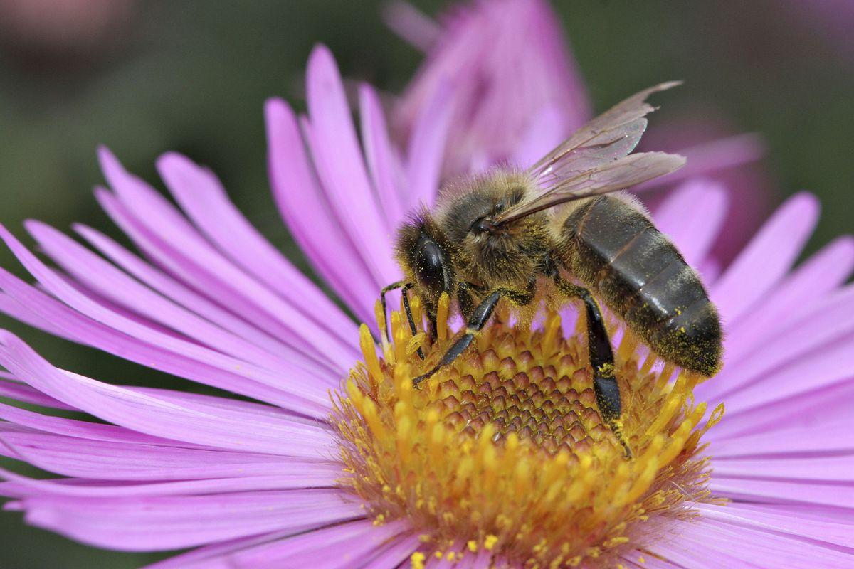 Domestic Honeybee (Apis Mellifera) in Oise, France.