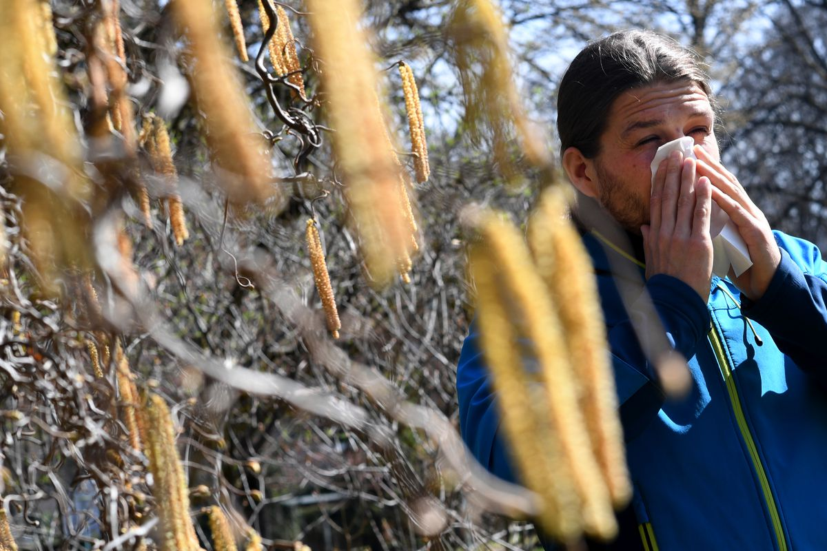 A man with hay fever and a handkerchief in front of his nose stands next to a corkscrew hazel bush.
