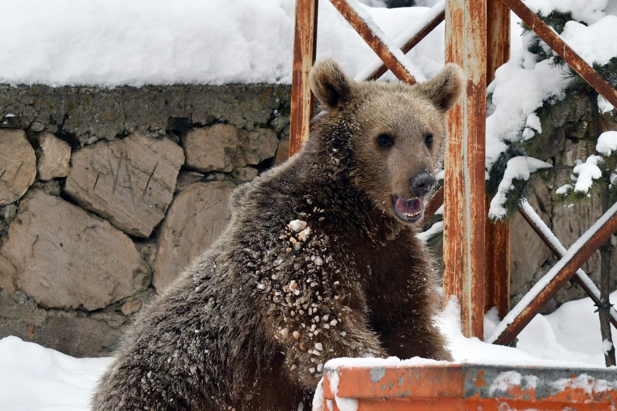 Baby grizzly bear searches food in Kars