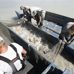 Carp splash about in a net between fishing boats as members of Bill Loy's crew tie off the net so they can start loading the carp into one of the boats.