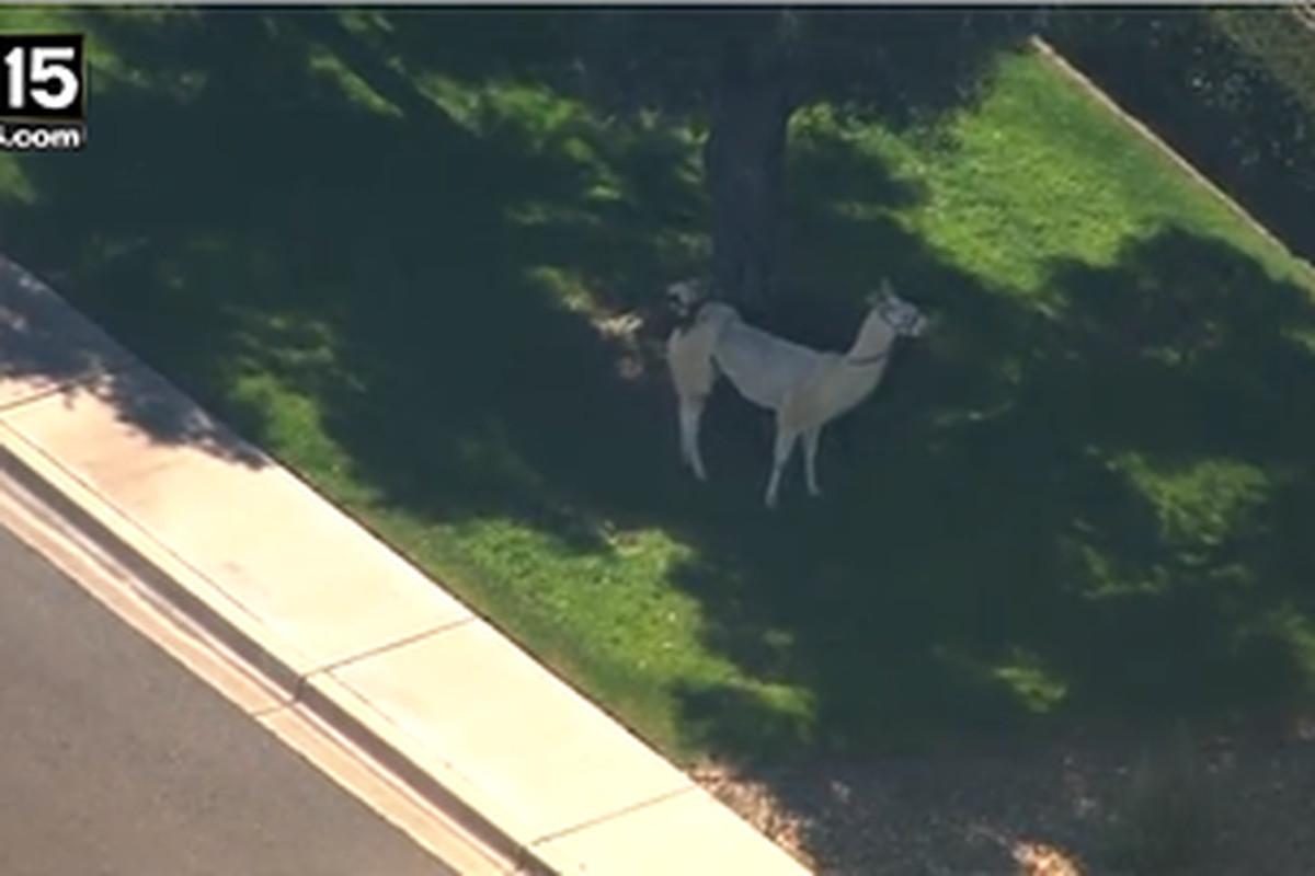 the llama enjoys his freedom under a shady tree