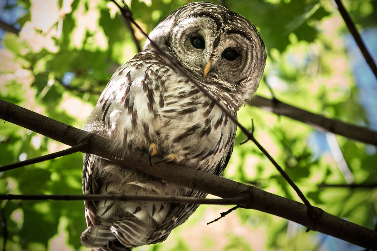 Central Park's Barry the owl was fatally struck by a vehicle in August.