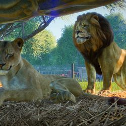 West African Lions in <em>Planet Zoo </em>for Windows PC.