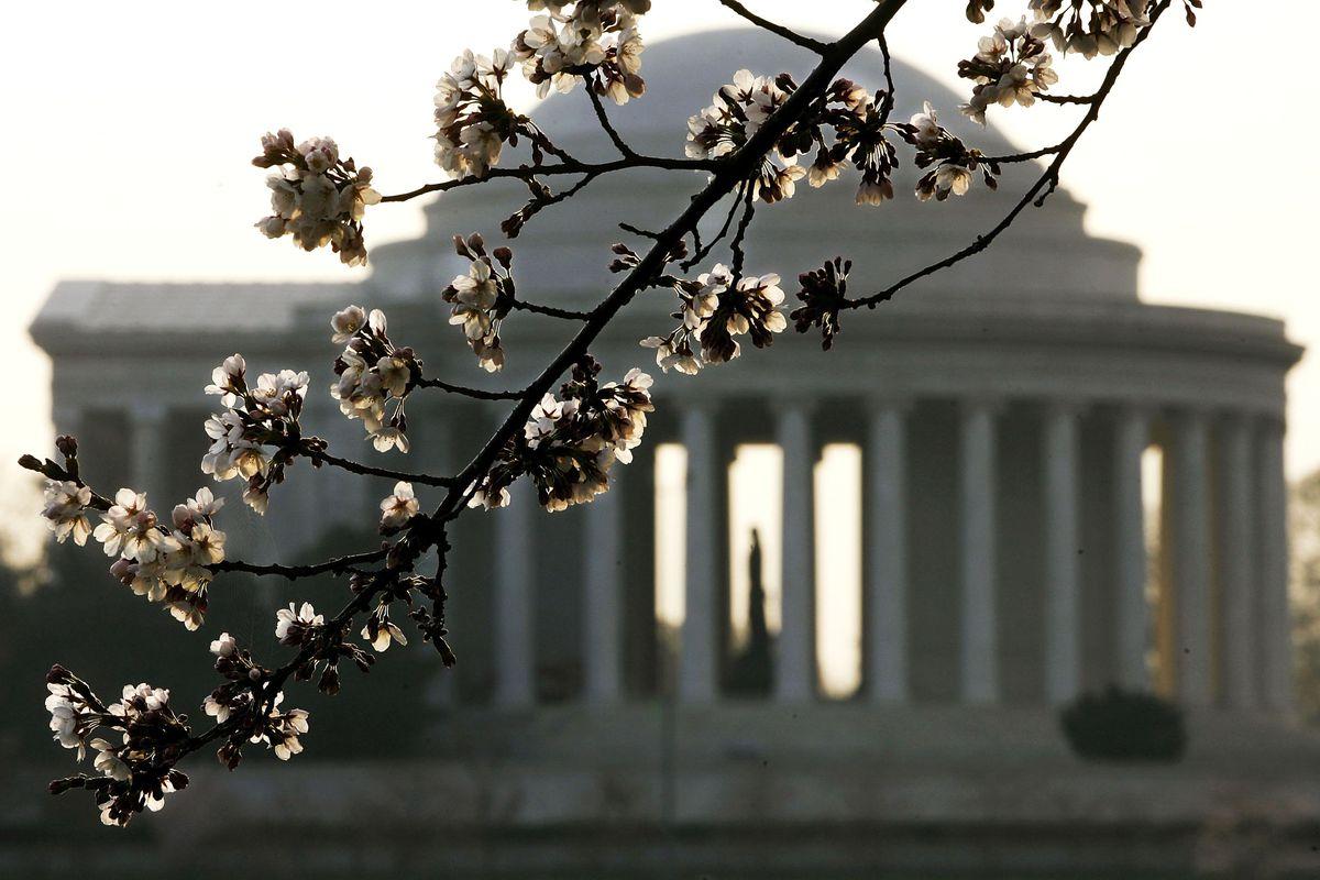 Blossoming Cherry Trees Enchant Washington