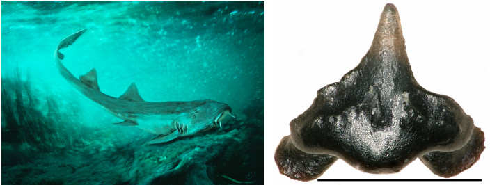 Left, a rendering of Galagadon nordquistae. Right, the tiny tooth found by a Field Museum volunteer.