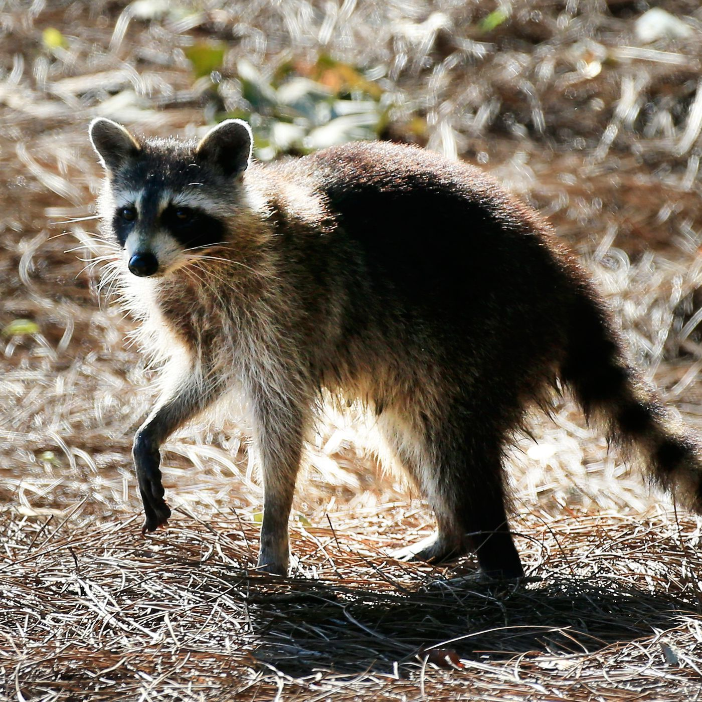 Raccoon hands are nature's most wonderful and terrifying ...