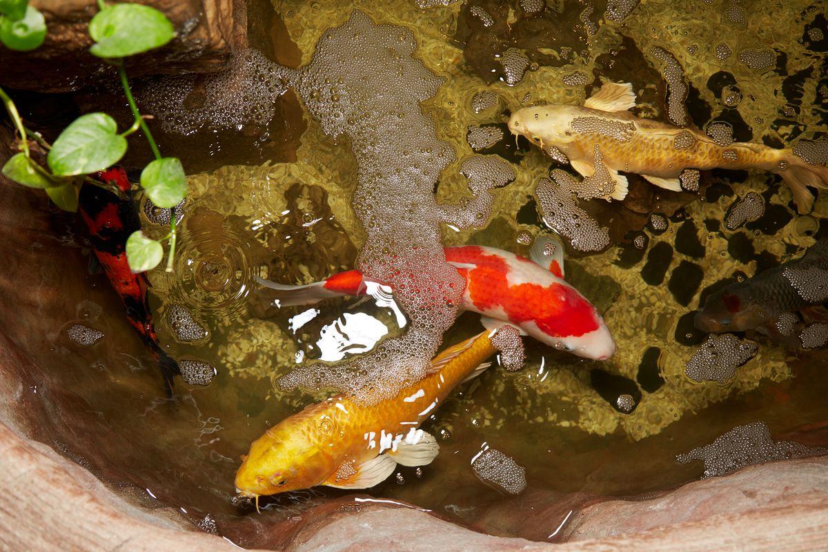 Szechuan Mountain House koi pond