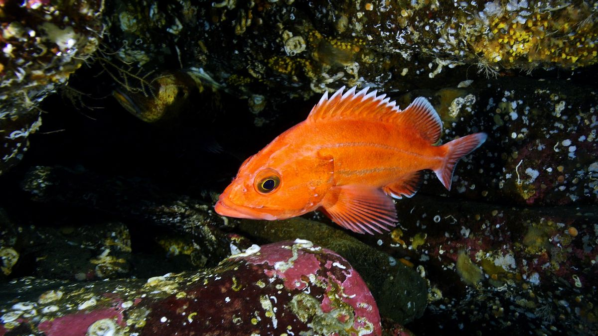 Yelloweye is threatened because adults must live 15 years before they start to spawn, making them vulnerable to overfishing.