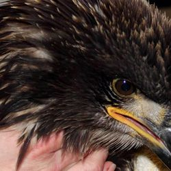 A juvenile bald eagle, likely hatched this spring, died Saturday, Dec. 21, 2013, at the Wildlife Rehabilitation Center of Northern Utah. It had the same symptoms, paralysis and seizures, as the rest of the birds they have seen. The cause of the problem is still unknown.