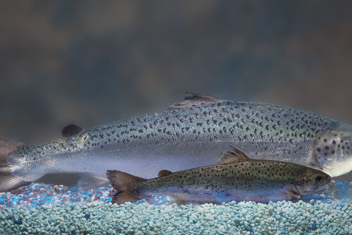 This 2010 photo from AquaBounty Technologies shows two salmon of the same age: The much larger genetically modified salmon is shown in the rear, while a non-genetically modified salmon is in the foreground.