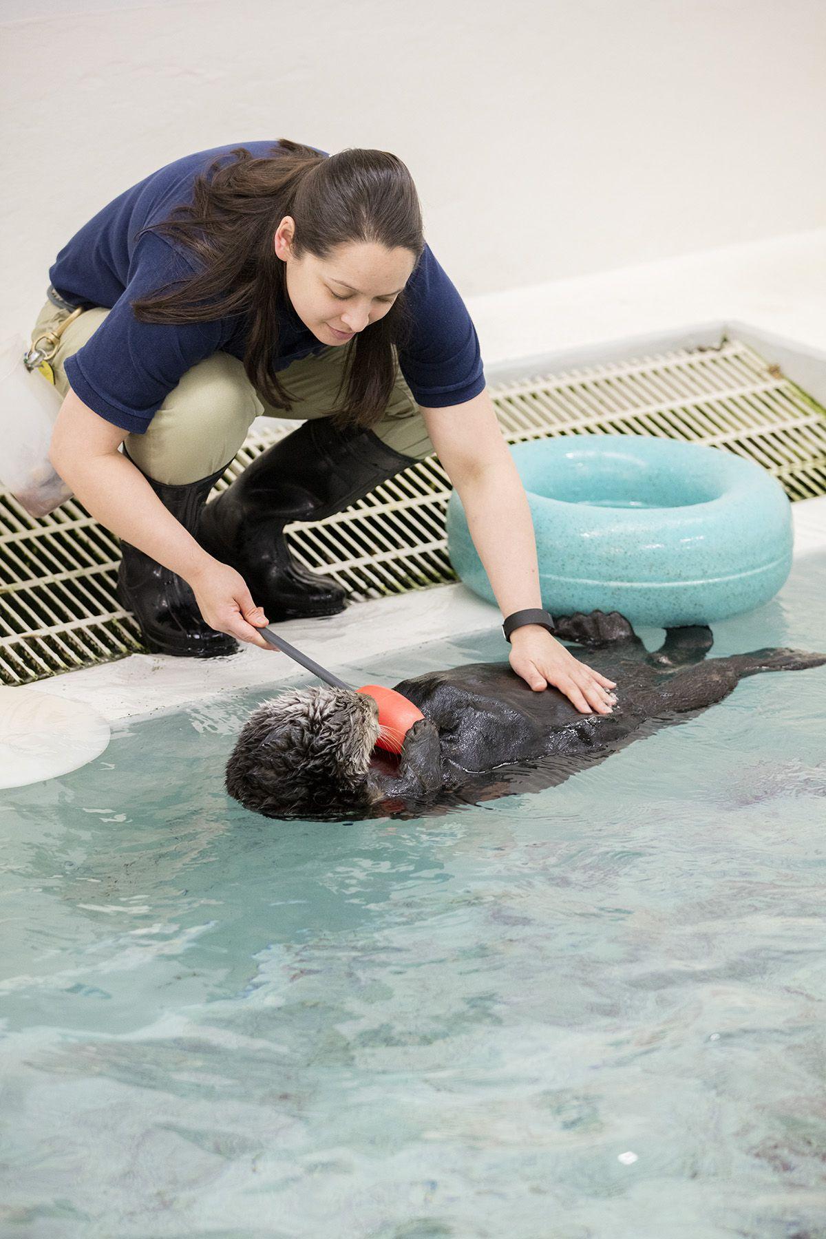 Sea otter Mari and trainer Lana Vanagasem.   ©Shedd Aquarium/Brenna Hernandez