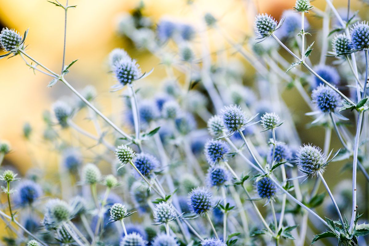 A group of blue sea holly with a light yellow background