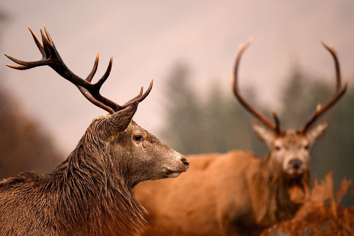 Stags Graze After The Rut