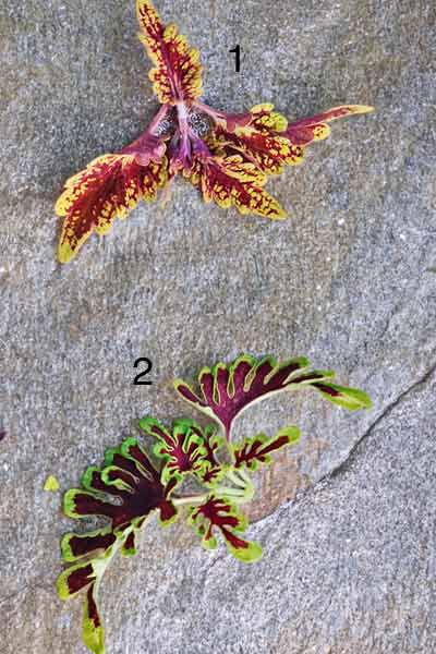 Coleus Plants: 'Brownie Points' And 'Electric Coral'