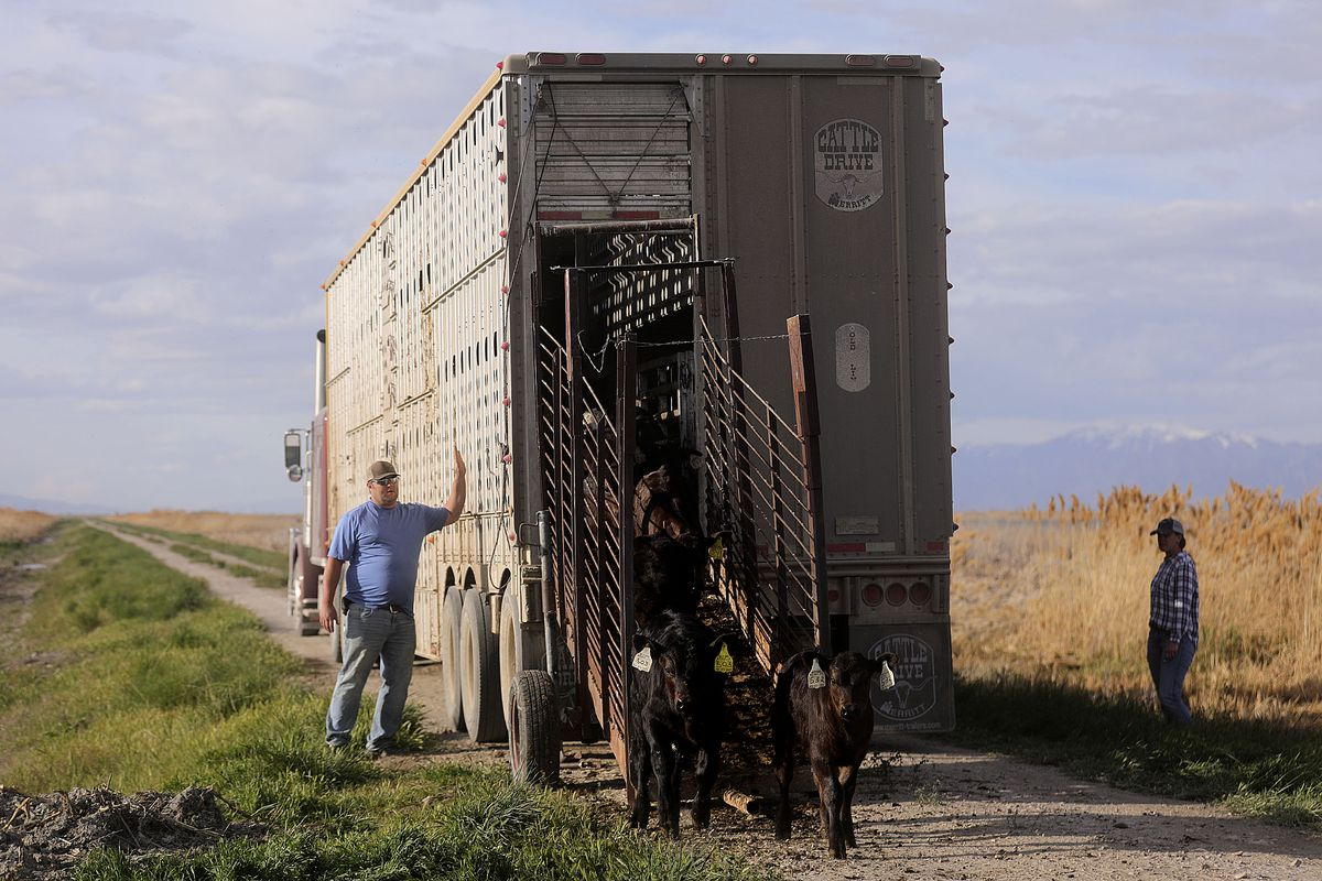 Joe Myers and Tawny Myers help unload calves for Myers Ranch and Hancock Farms in the Ogden Bay Waterfowl Management Area on Monday, April 27, 2020.