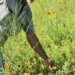 In this July 10, 2018 photo, Jim Barker walks among the native prairie flowers he has planted  on his farm in McLeansboro, Ill.   Les Winkeler/The Southern, via AP