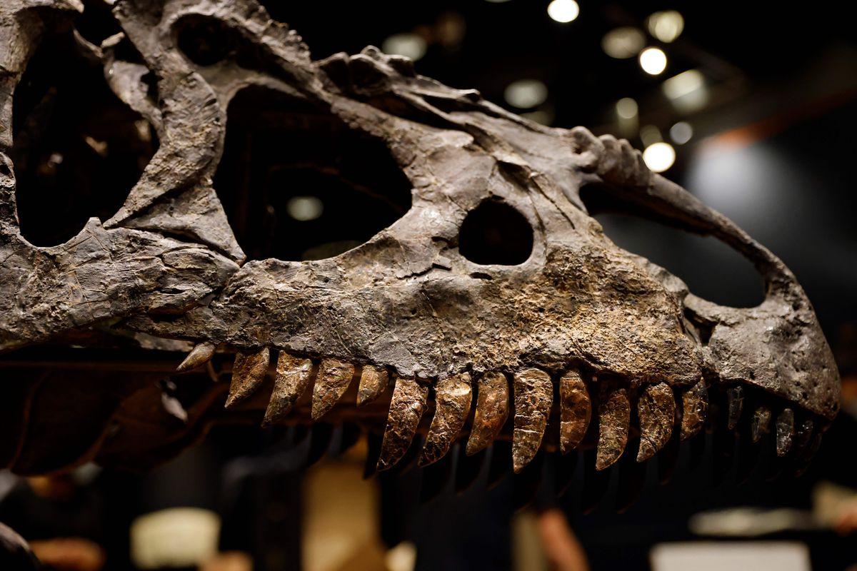 An Allosaurus skull