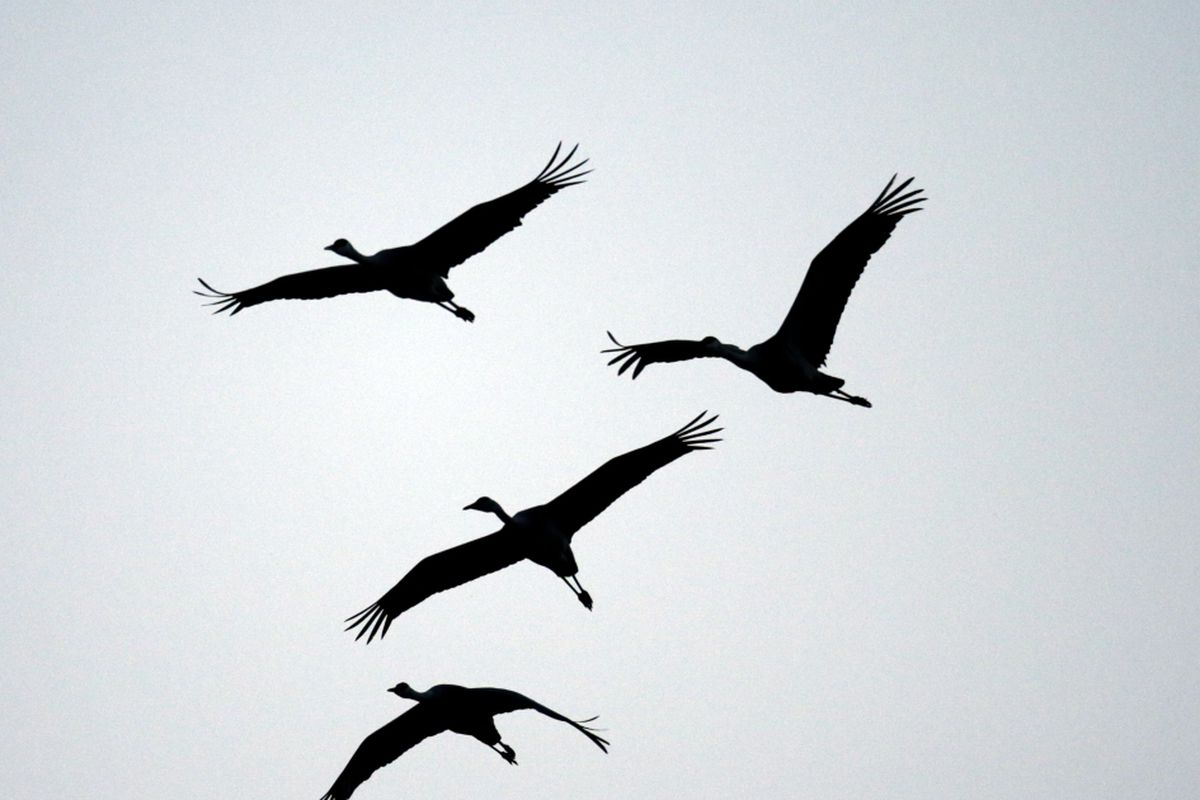 Drama In World Of Birds Sandhill Crane >> Sandhill Cranes Flying Overhead Say The Natural World Is Coming