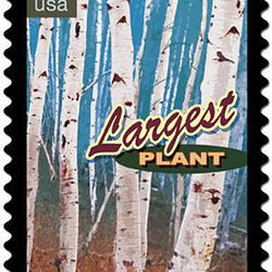The Postal Service commemorated 40 Wonders of America in 2006. This stamp was one of the 40 issued. It featured Pando from central Utah.