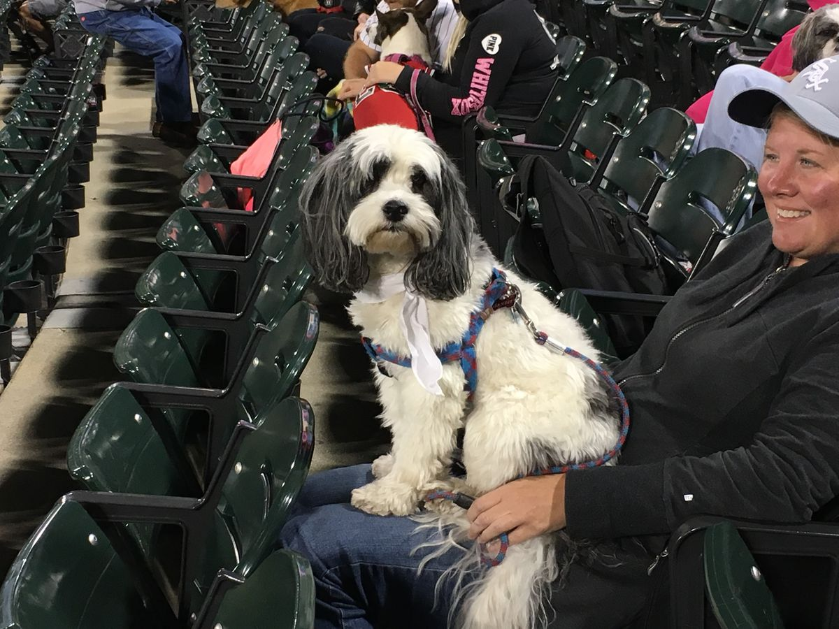 Bandit is a Cockapoo, enjoying the game from the right outfield seats.   Madeline Kenney/Sun-Times