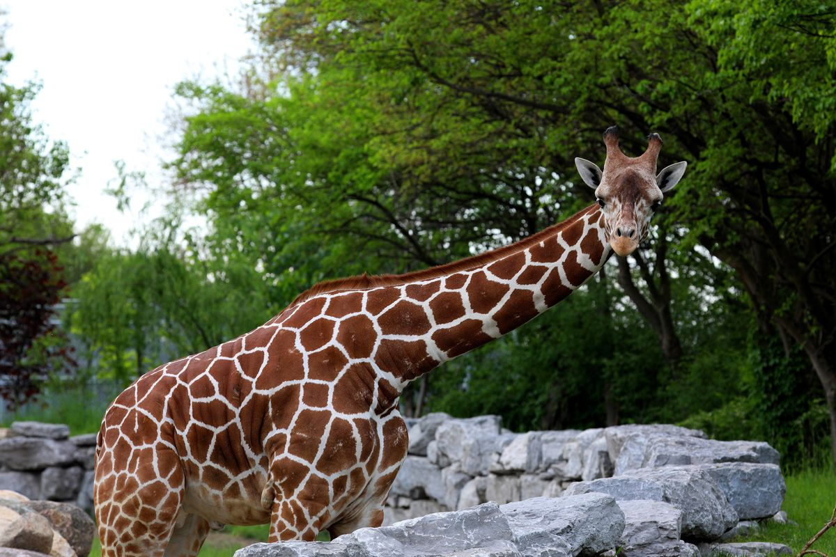 A giraffe at the Detroit Zoo, where students will soon take classes through a program at University Prep Science and Math High School.