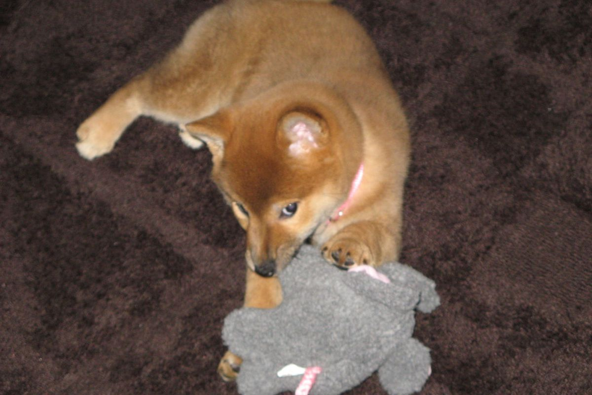 Keiko chewing her elephant.