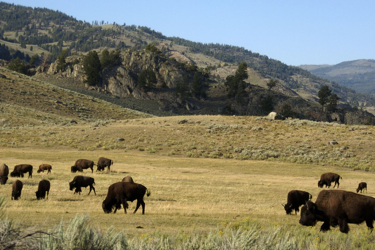 FILE - In this Aug. 3, 2016 photo, a herd of bison grazes in the Lamar Valley of Yellowstone National Park. A 55-year-old Oregon man has been sentenced to 130 days in jail after pleading guilty to misconduct in two national parks, including harassing a bi