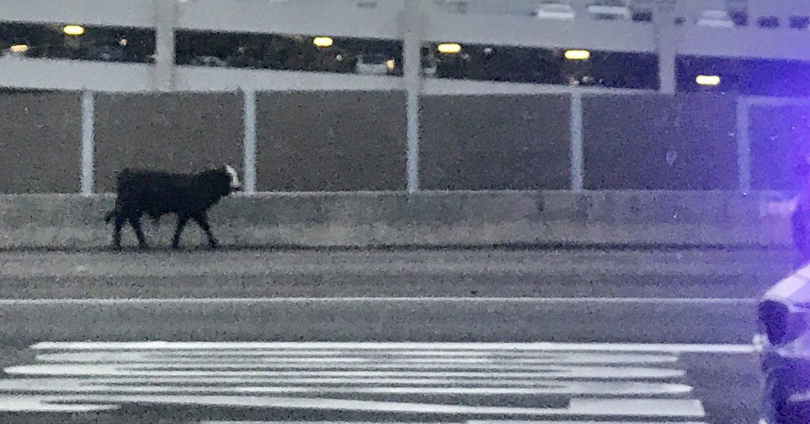 Dozens of cows are loose in Atlanta after a tractor