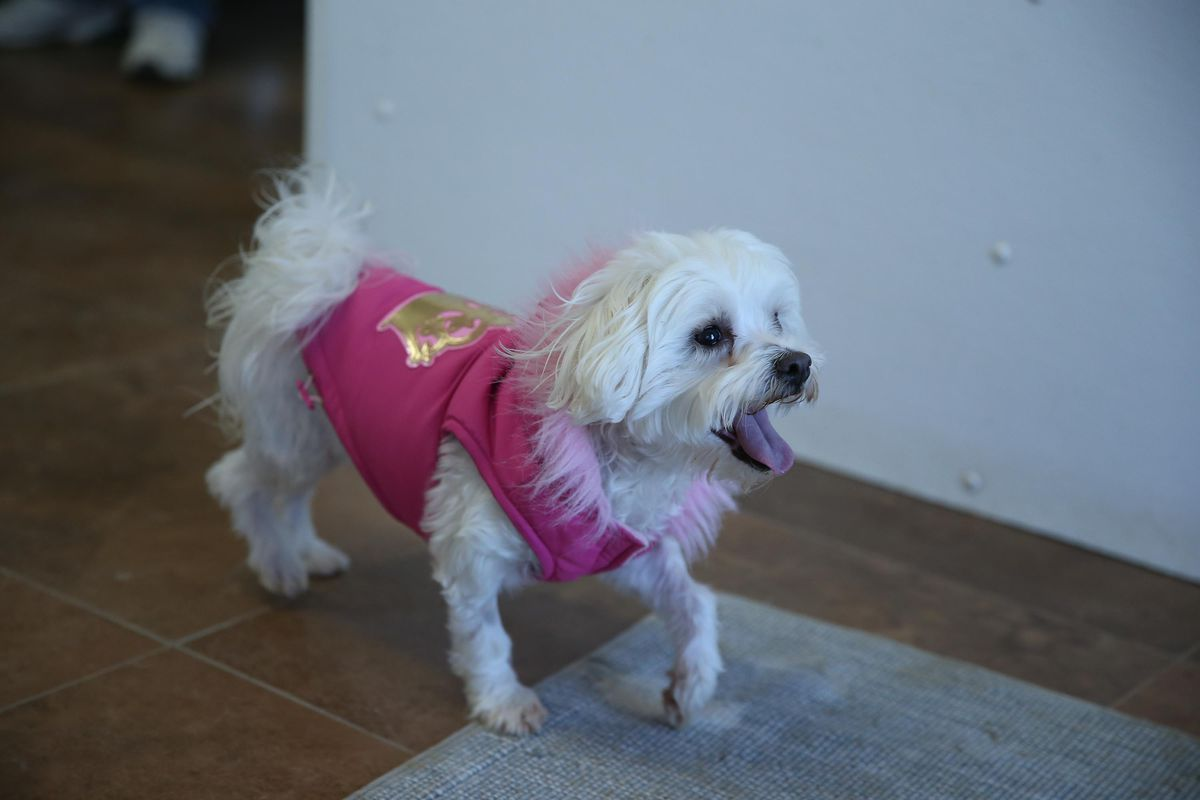 A Maltese (small white dog) wearing a pink winter coat with pink fuzzy trim around the neck.