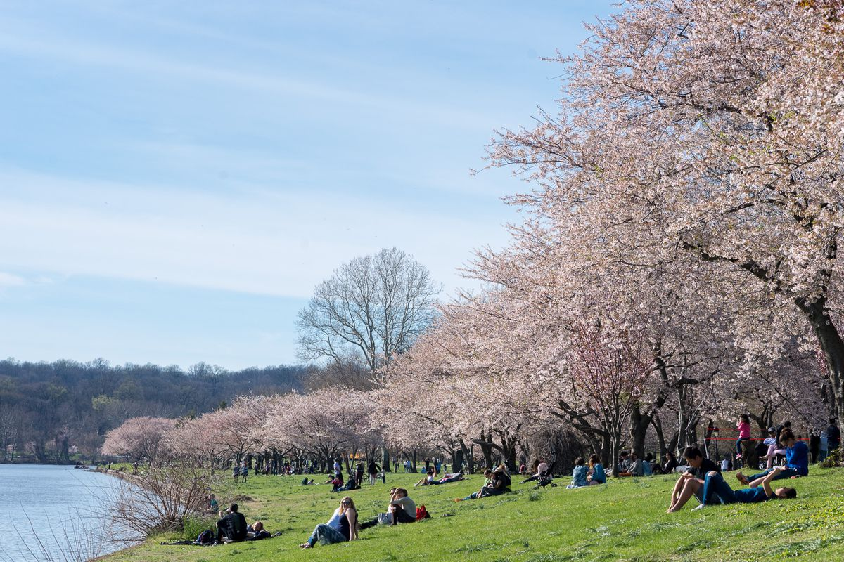 People lounge on the banks of the Schuylkill River underneath cherry blossom trees.