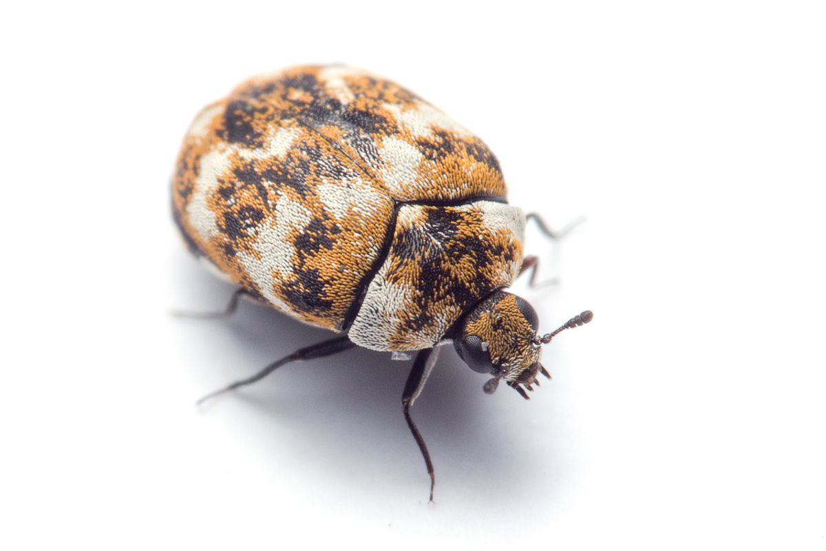 Bed Bugs State Of Michigan