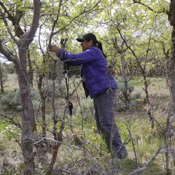 Sharon Gilbert, a technician with the Utah Department of Agriculture, hangs a gypsy moth trap in Rose Canyon in Herriman on Thursday, May 14, 2020.