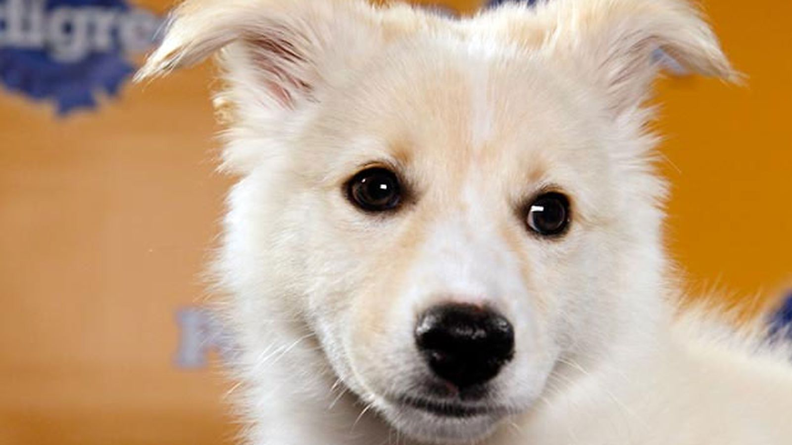 Puppy Bowl 2017 Live Stream Time Tv Schedule Lineups