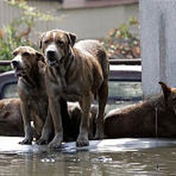 Dogs wait for their owners to return as they sit on top of a flooded car Monday in New Orleans.