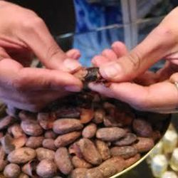 Opening cacao pods