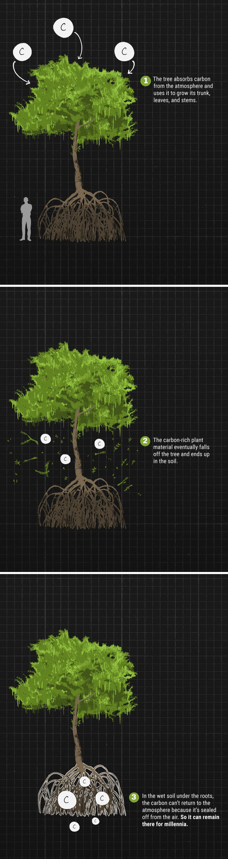 Graphic showing how the stilt mangrove absorbs carbon dioxide from the atmosphere.